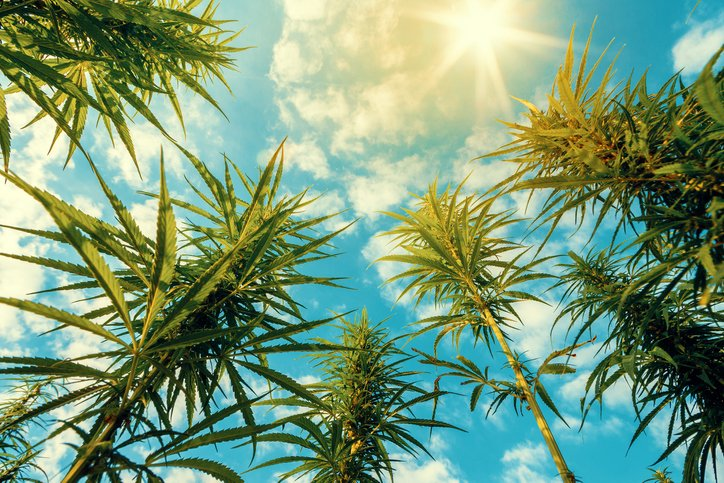 Cannabis Plants on Field with Blue Sky and Sun on Background